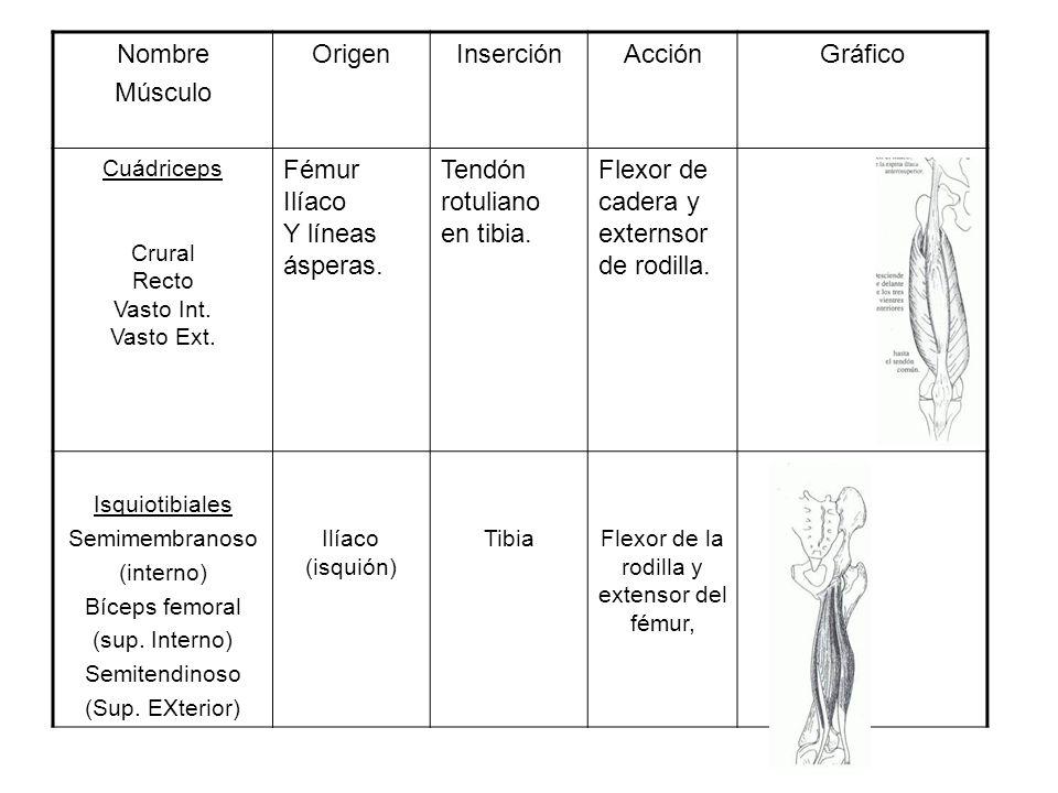 Flexor de la rodilla y extensor del fémur,