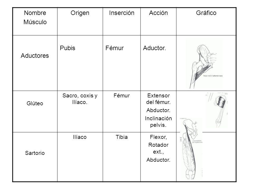 Nombre Músculo Origen Inserción Acción Gráfico Aductores Pubis Fémur