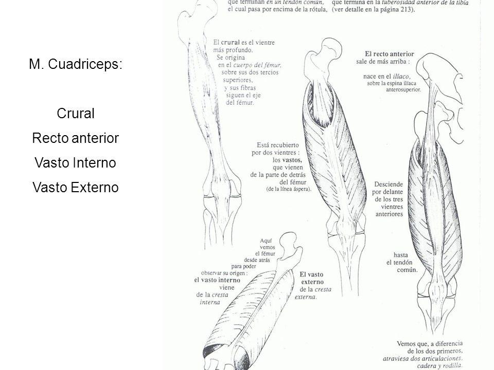 M. Cuadriceps: Crural Recto anterior Vasto Interno Vasto Externo