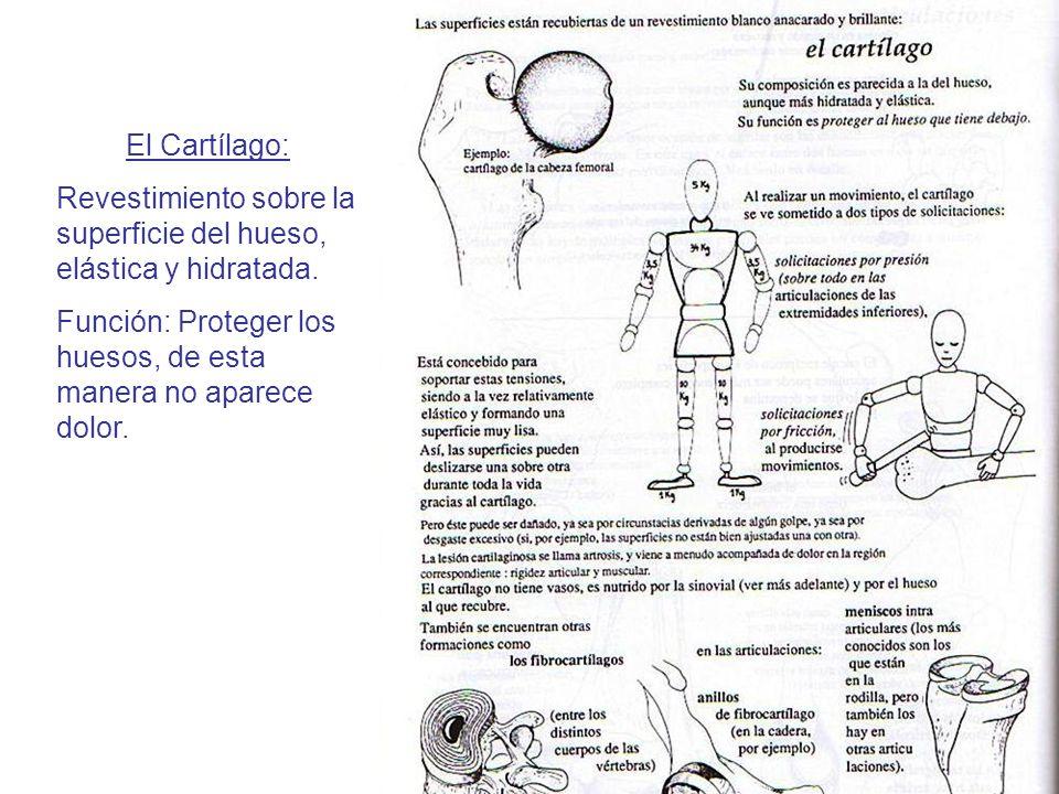 El Cartílago: Revestimiento sobre la superficie del hueso, elástica y hidratada.