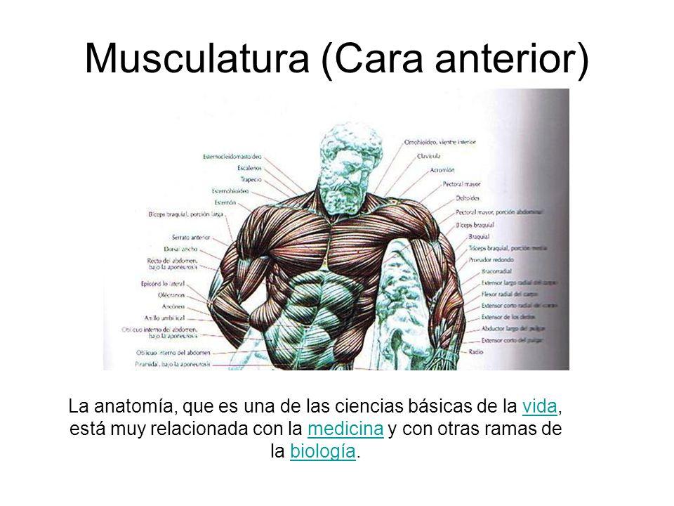 Musculatura (Cara anterior)