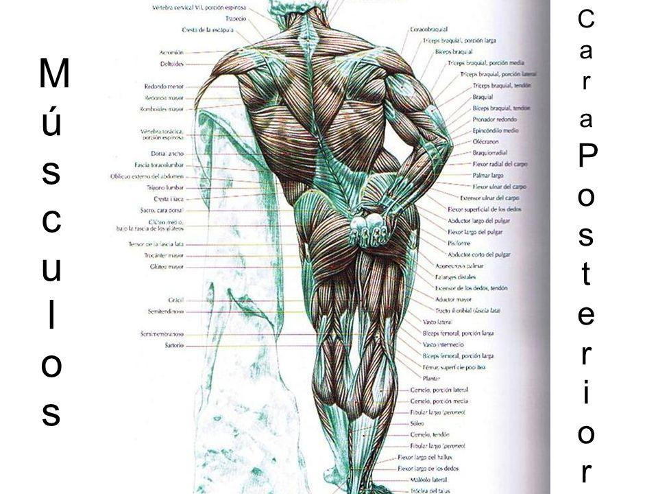 Músculos Cara Posterior
