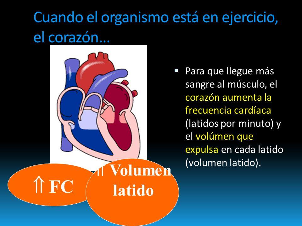 Cuando el organismo está en ejercicio, el corazón...