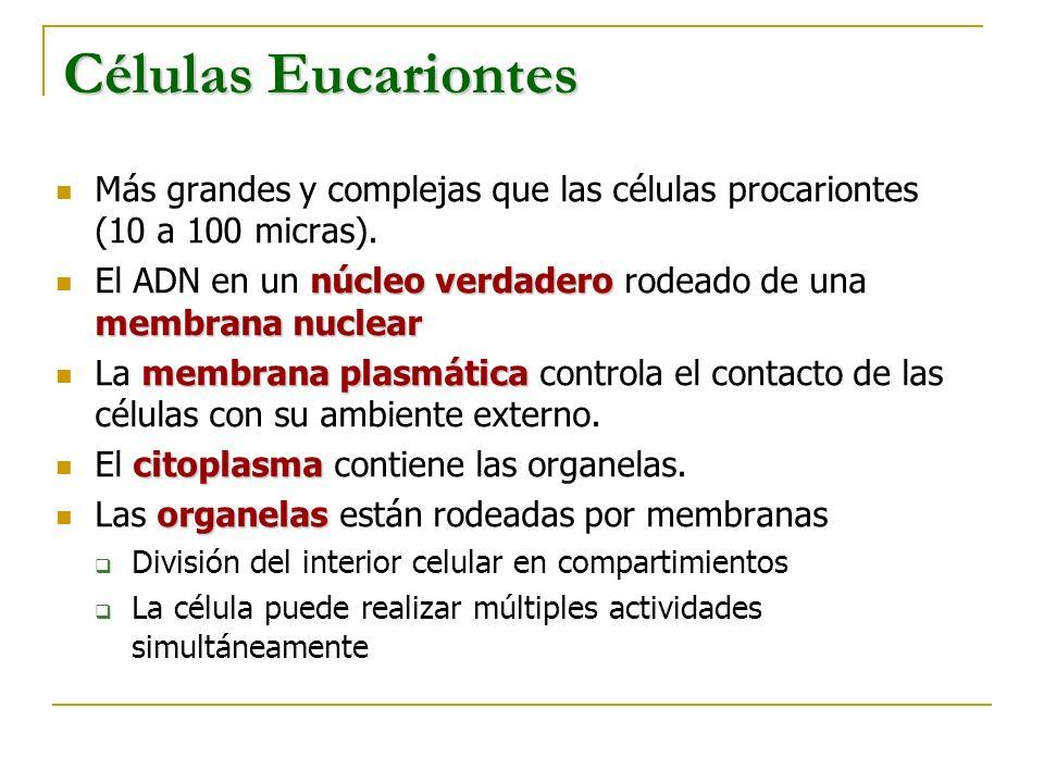 Células Eucariontes Más grandes y complejas que las células procariontes (10 a 100 micras).