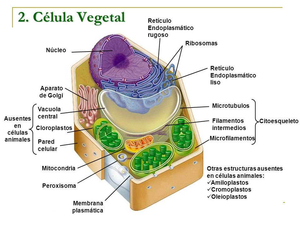Ausentes en células animales