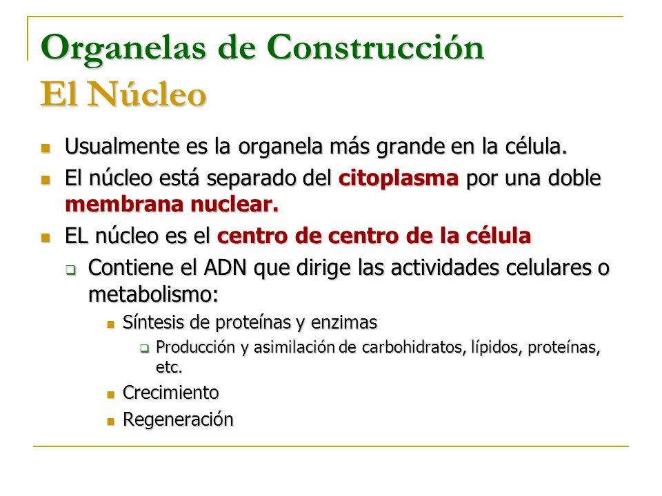Organelas de Construcción El Núcleo