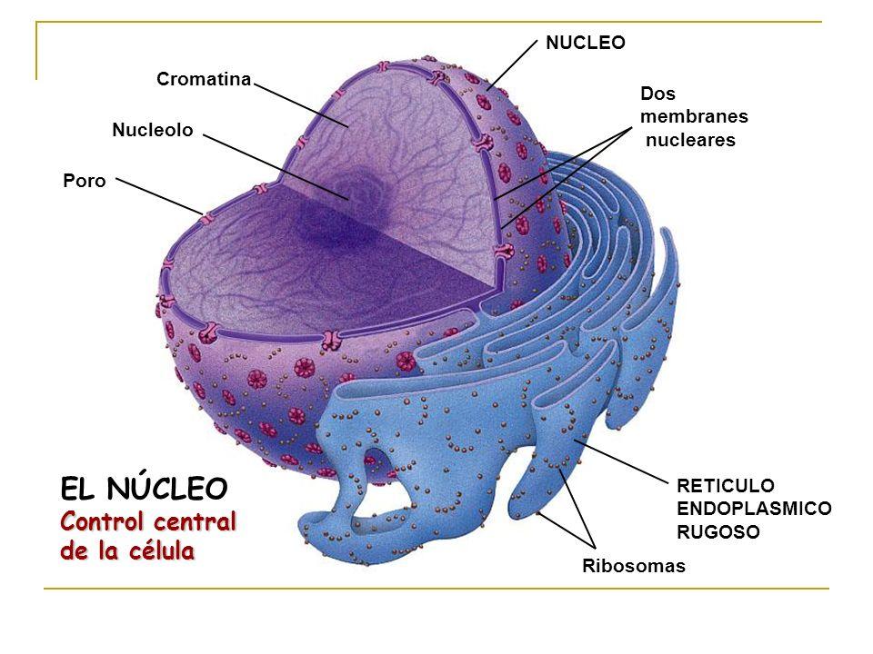 EL NÚCLEO Control central de la célula NUCLEO Cromatina