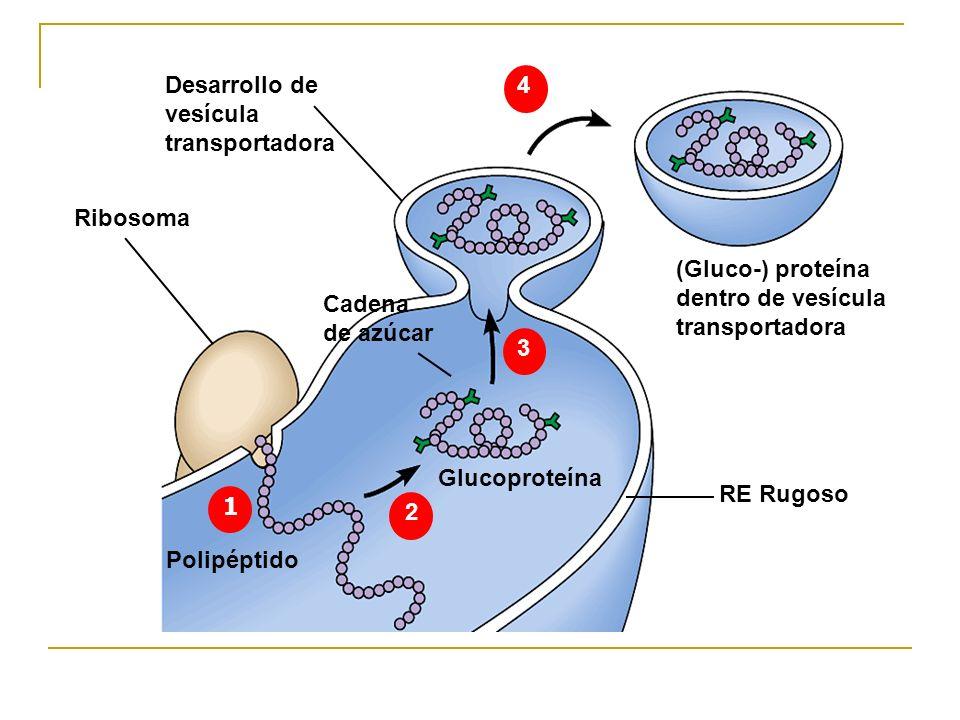 12. 3. 4. Desarrollo de vesícula transportadora. Ribosoma. Cadena de azúcar. Glucoproteína. (Gluco-) proteína dentro de vesícula.