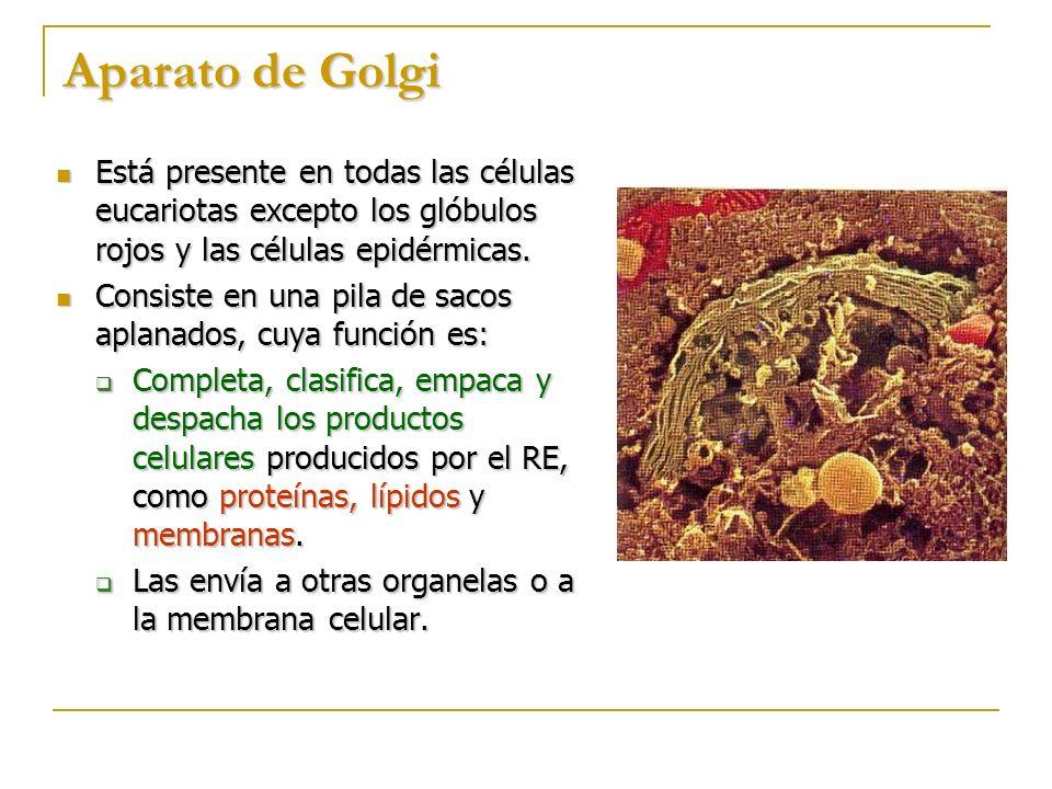 Aparato de Golgi Está presente en todas las células eucariotas excepto los glóbulos rojos y las células epidérmicas.