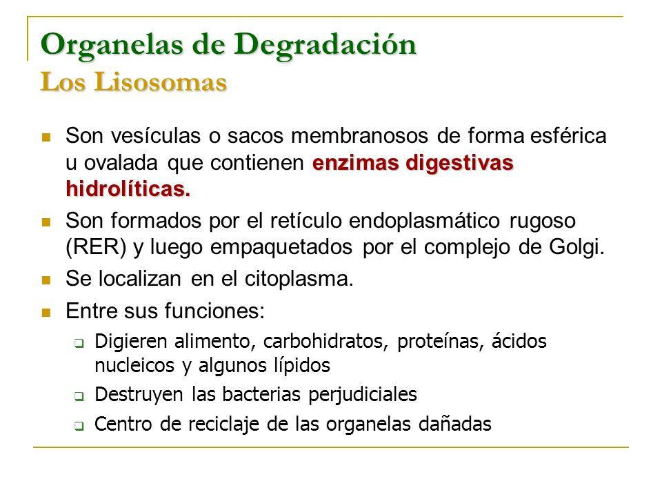 Organelas de Degradación Los Lisosomas