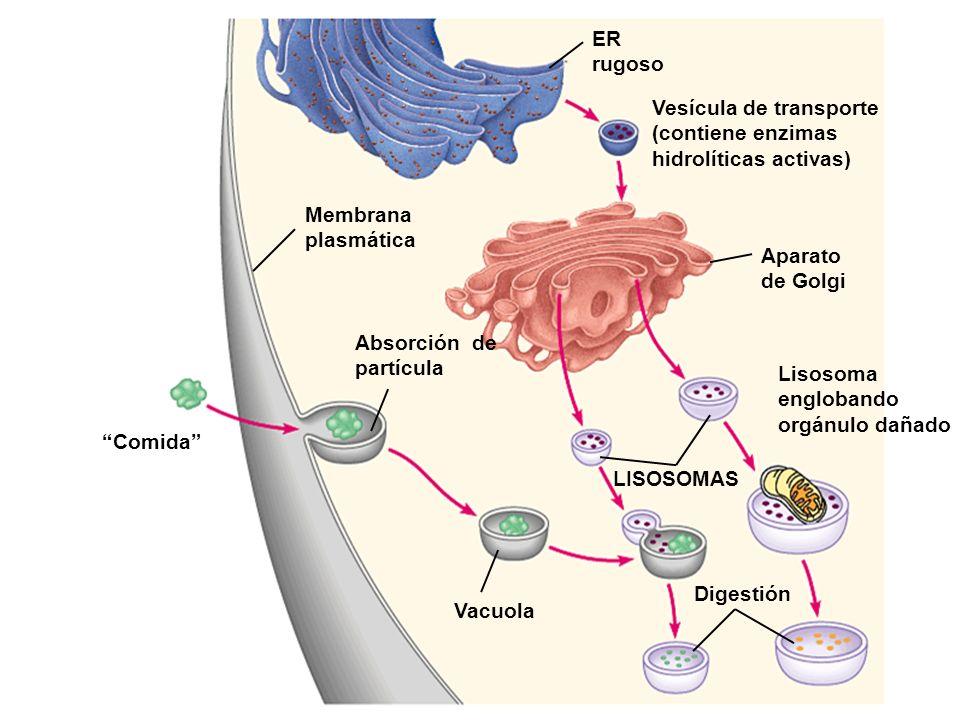 ER rugoso Vesícula de transporte (contiene enzimas hidrolíticas activas) Aparato de Golgi. Membrana.