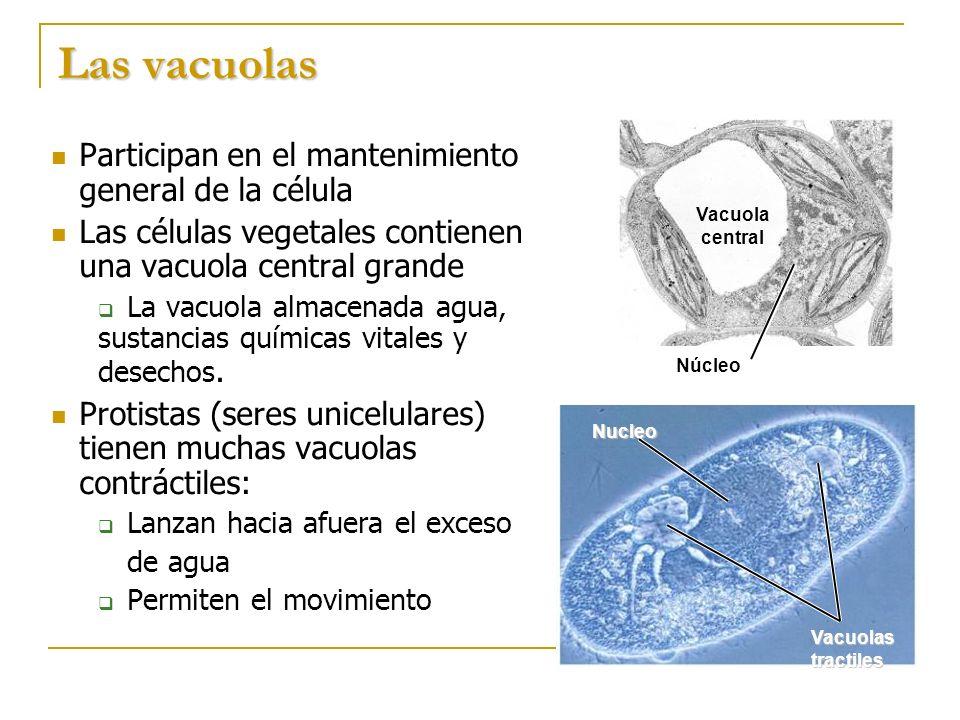 Las vacuolas Participan en el mantenimiento general de la célula