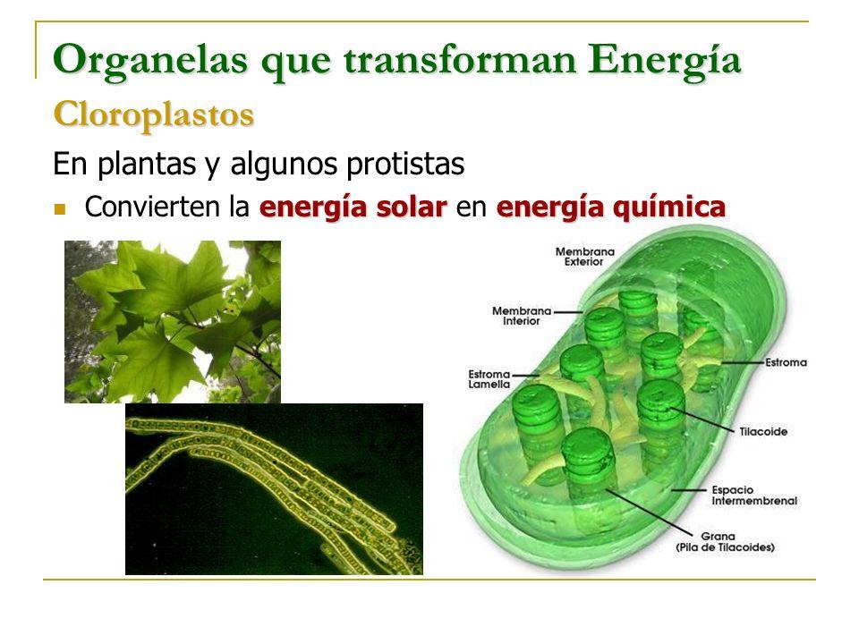 Organelas que transforman Energía