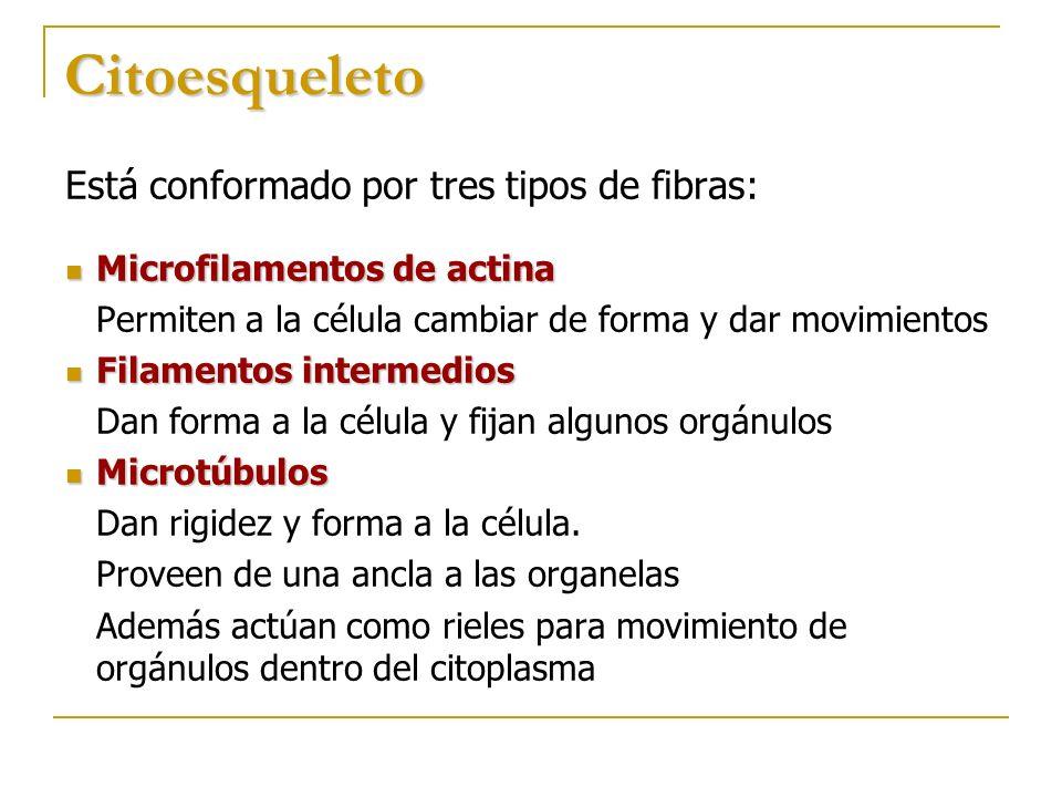 Citoesqueleto Está conformado por tres tipos de fibras: