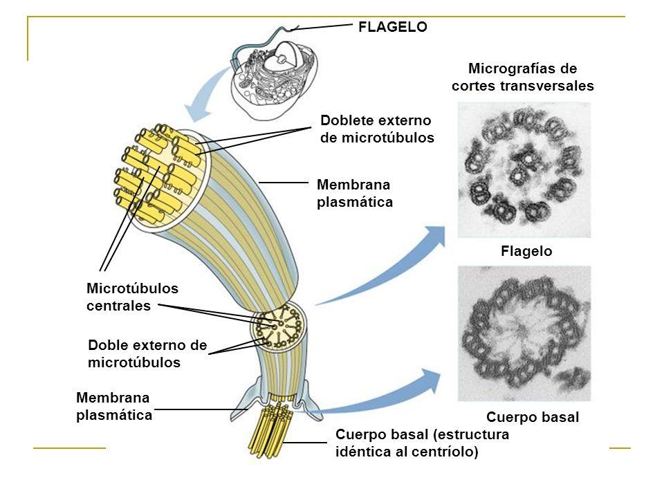 Micrografías de cortes transversales