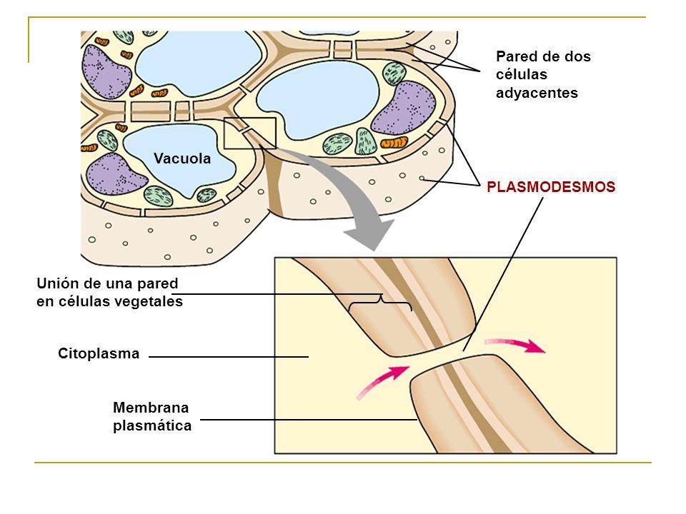 Vacuola Unión de una pared en células vegetales. Pared de dos células adyacentes. PLASMODESMOS. Citoplasma.