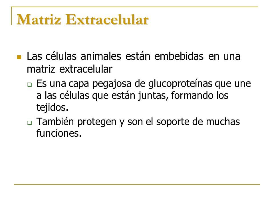 Matriz Extracelular Las células animales están embebidas en una matriz extracelular.