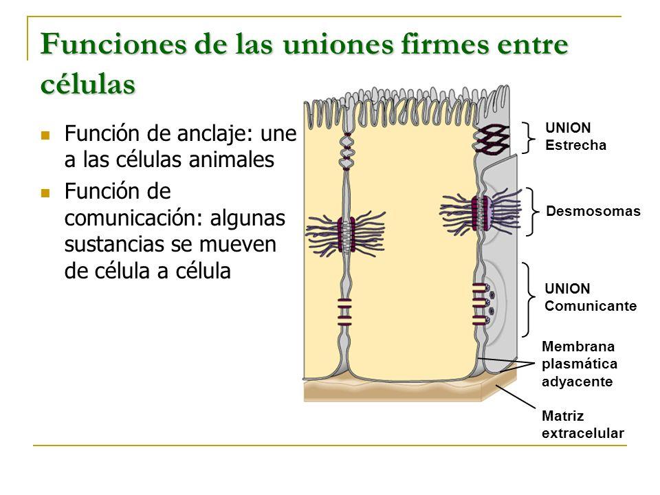 Funciones de las uniones firmes entre células