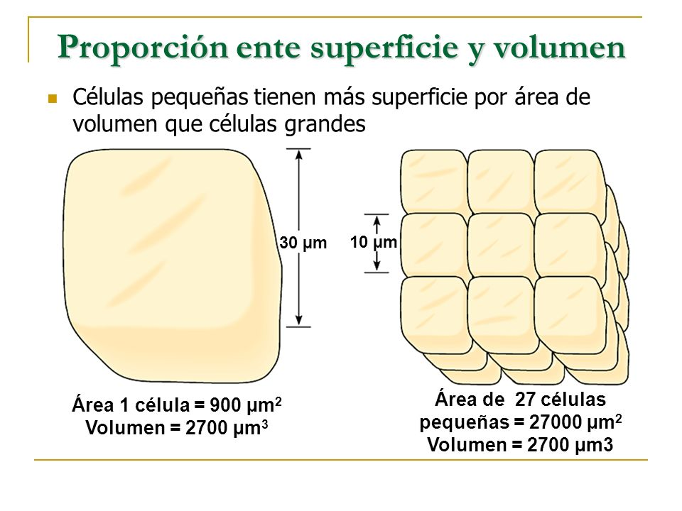 Proporción ente superficie y volumen