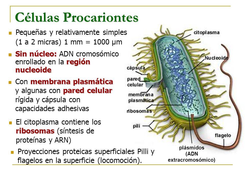 plásmidos (ADN extracromosómico)