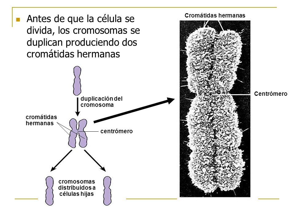 Antes de que la célula se divida, los cromosomas se duplican produciendo dos cromátidas hermanas
