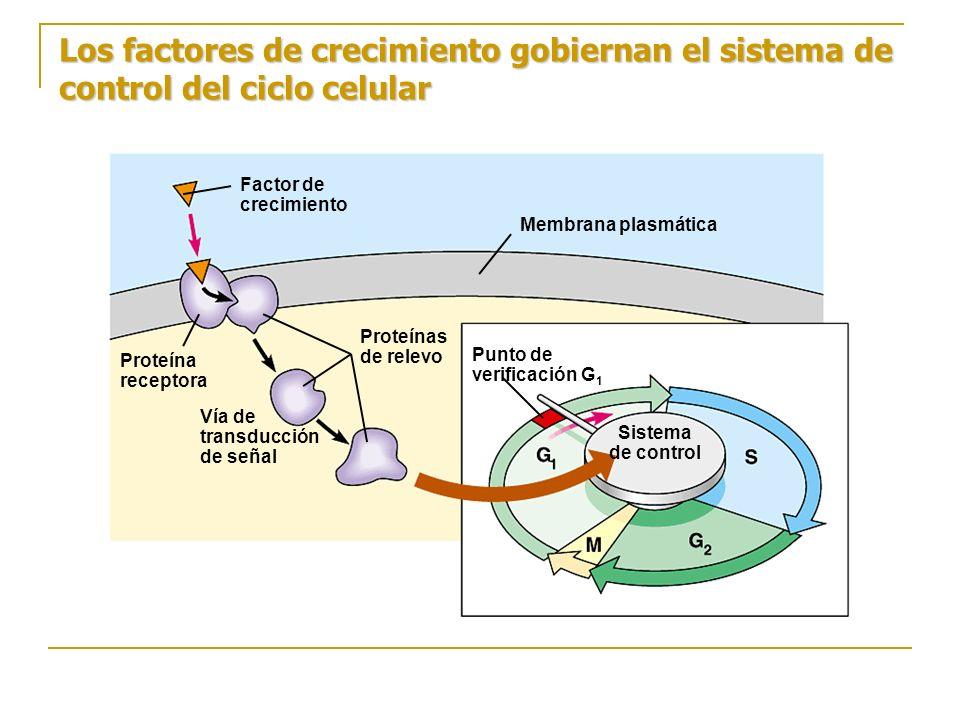 Los factores de crecimiento gobiernan el sistema de control del ciclo celular