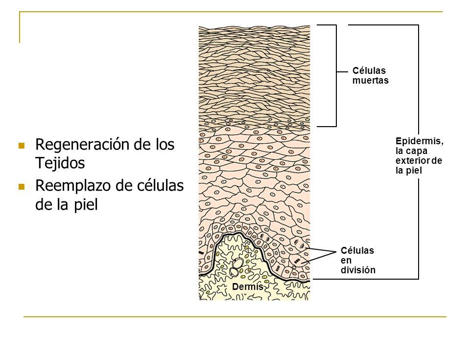 Regeneración de los Tejidos Reemplazo de células de la piel