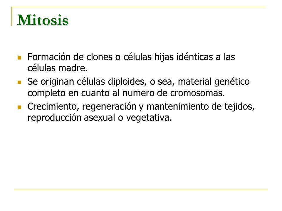 Mitosis Formación de clones o células hijas idénticas a las células madre.