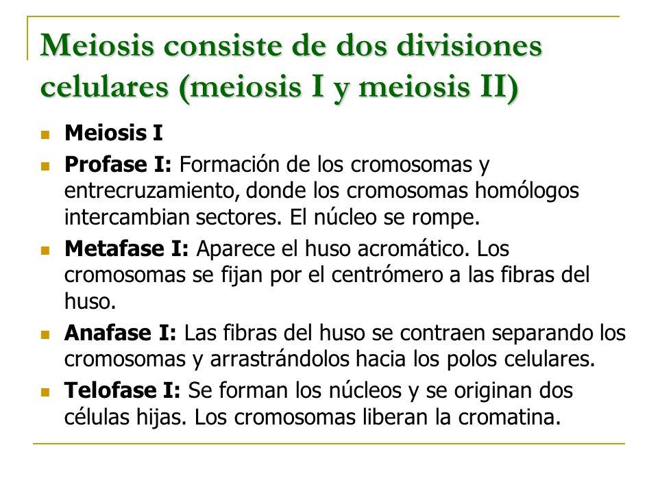 Meiosis consiste de dos divisiones celulares (meiosis I y meiosis II)