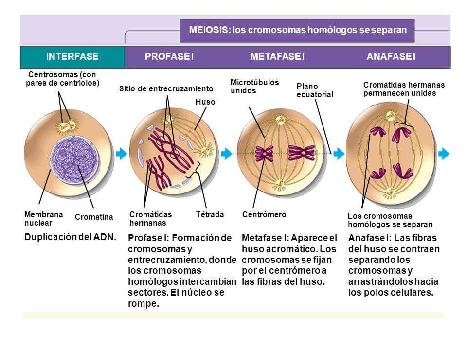 MEIOSIS: los cromosomas homólogos se separan