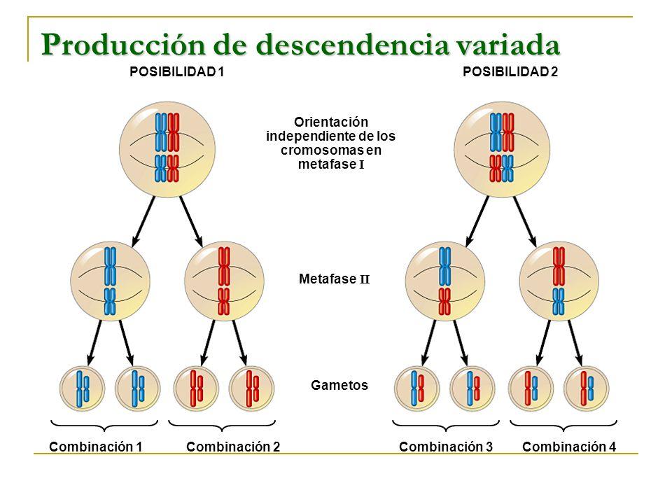 Producción de descendencia variada