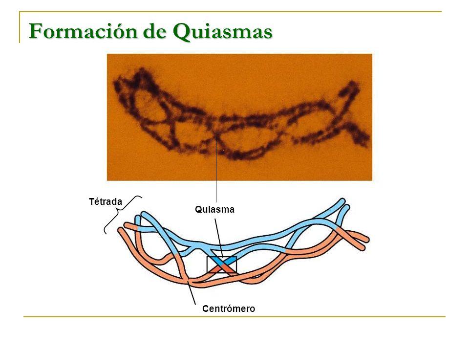 Formación de Quiasmas Tétrada Quiasma Centrómero