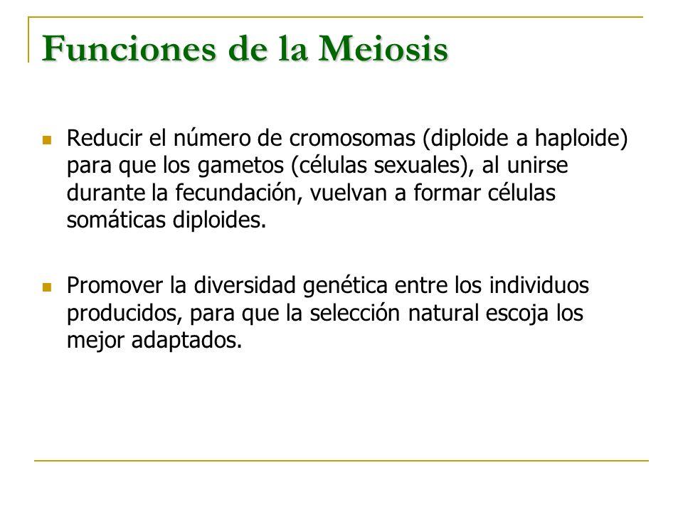 Funciones de la Meiosis