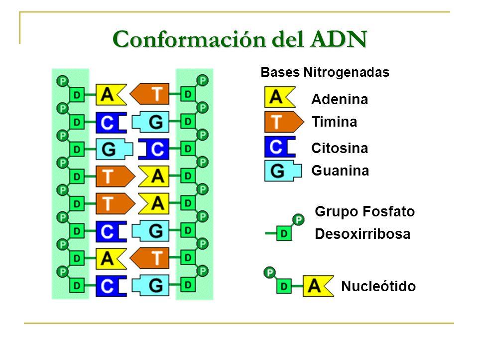 Conformación del ADN Adenina Timina Citosina Guanina Grupo Fosfato