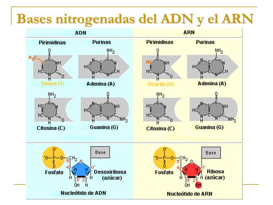 Bases nitrogenadas del ADN y el ARN