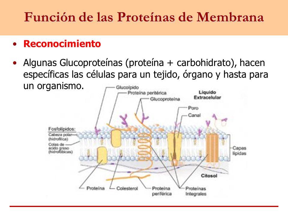 Función de las Proteínas de Membrana