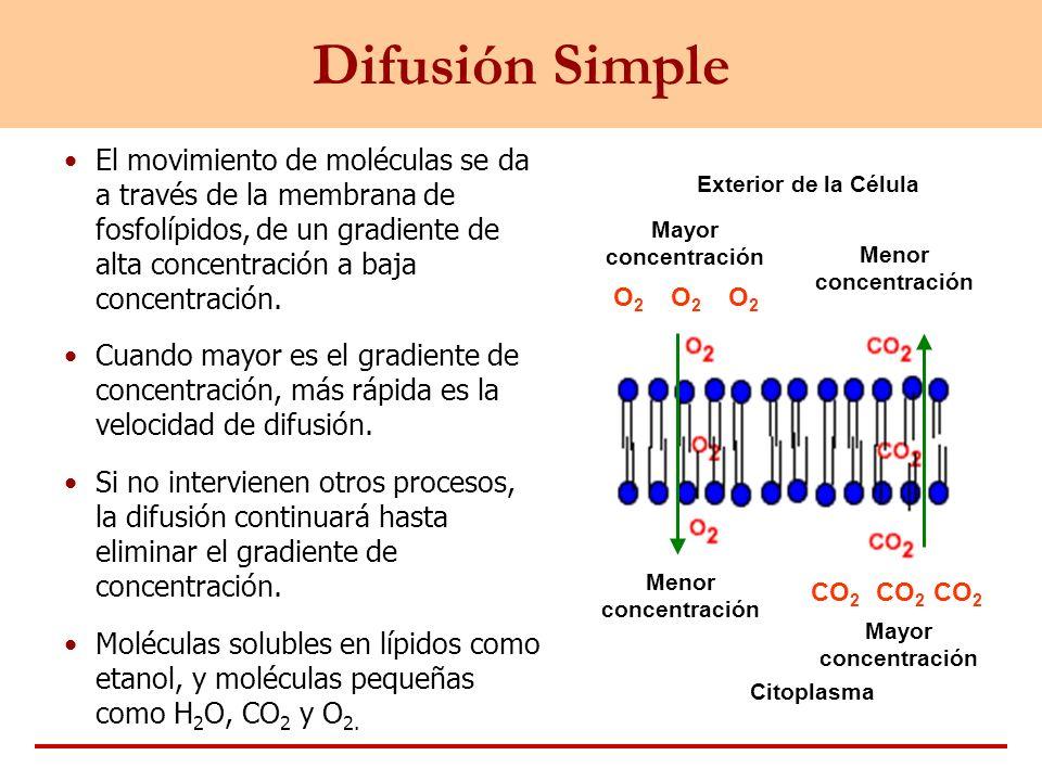 Difusión SimpleEl movimiento de moléculas se da a través de la membrana de fosfolípidos, de un gradiente de alta concentración a baja concentración.