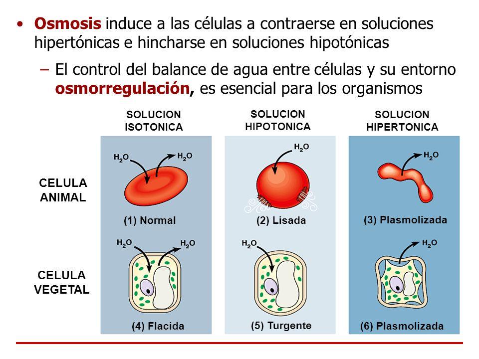 Osmosis induce a las células a contraerse en soluciones hipertónicas e hincharse en soluciones hipotónicas