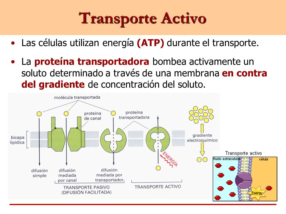 Transporte ActivoLas células utilizan energía (ATP) durante el transporte.