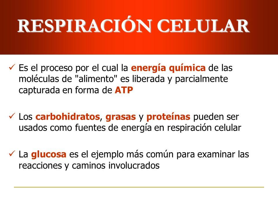 RESPIRACIÓN CELULAR Es el proceso por el cual la energía química de las moléculas de alimento es liberada y parcialmente capturada en forma de ATP.