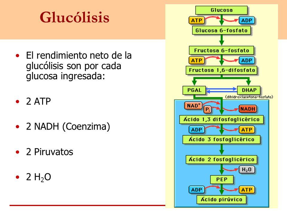 Glucólisis El rendimiento neto de la glucólisis son por cada glucosa ingresada: 2 ATP. 2 NADH (Coenzima)