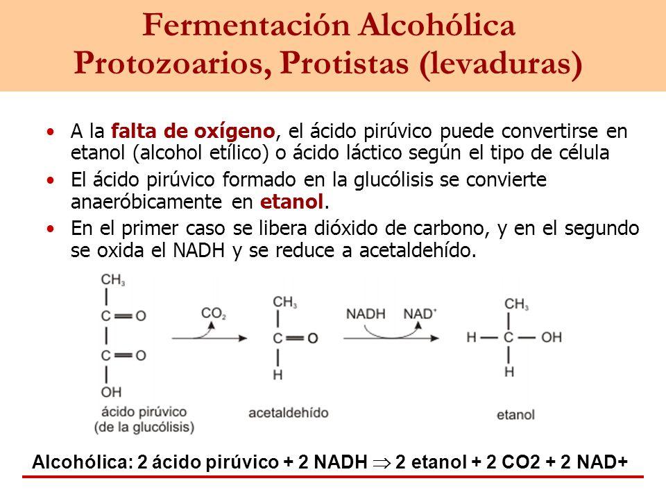 Fermentación Alcohólica Protozoarios, Protistas (levaduras)
