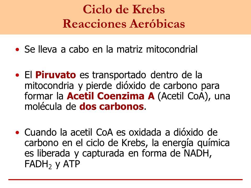 Ciclo de Krebs Reacciones Aeróbicas