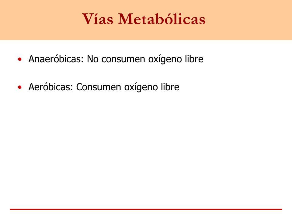 Vías Metabólicas Anaeróbicas: No consumen oxígeno libre