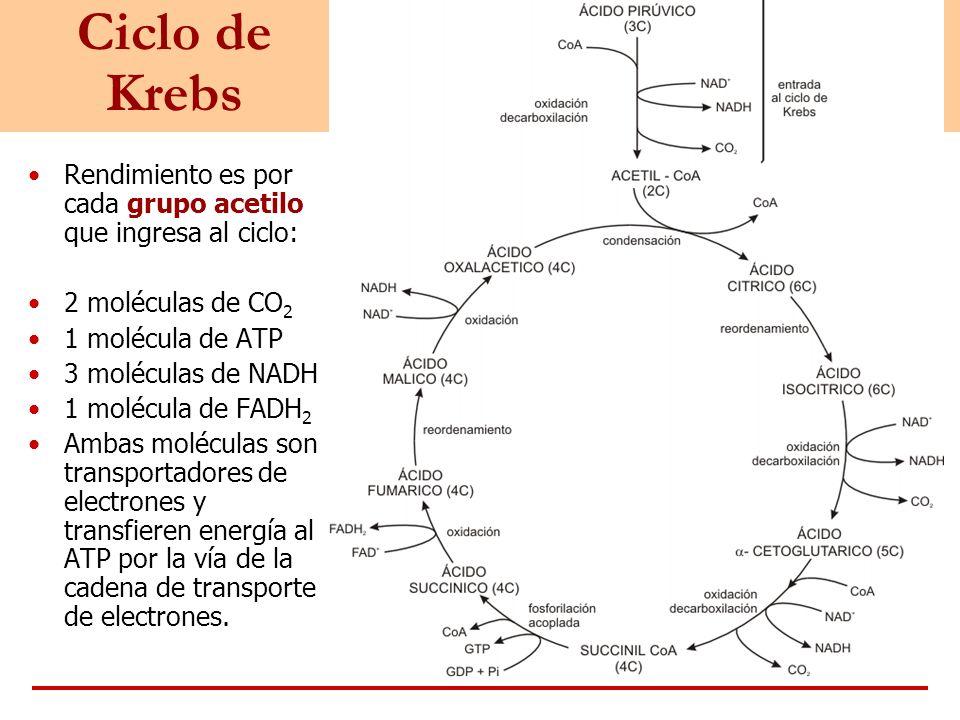 Ciclo de Krebs Rendimiento es por cada grupo acetilo que ingresa al ciclo: 2 moléculas de CO2. 1 molécula de ATP.