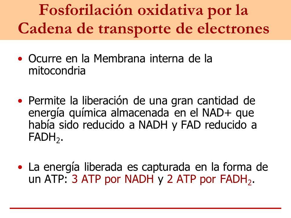 Fosforilación oxidativa por la Cadena de transporte de electrones
