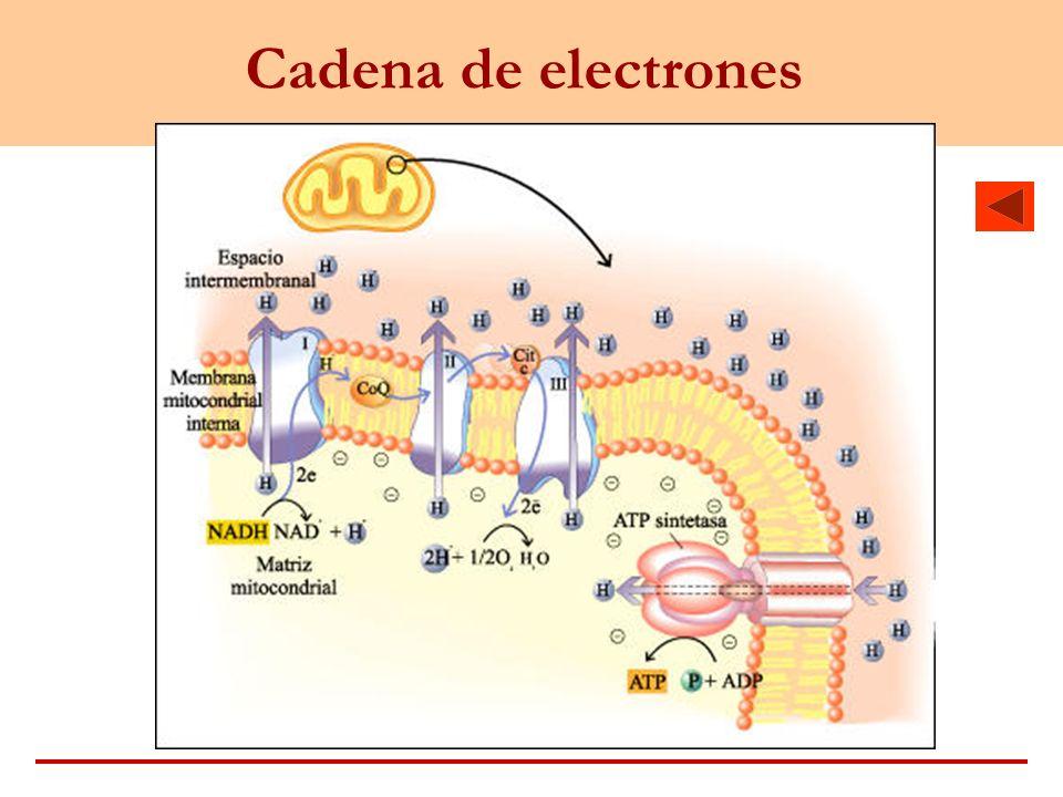 Cadena de electrones