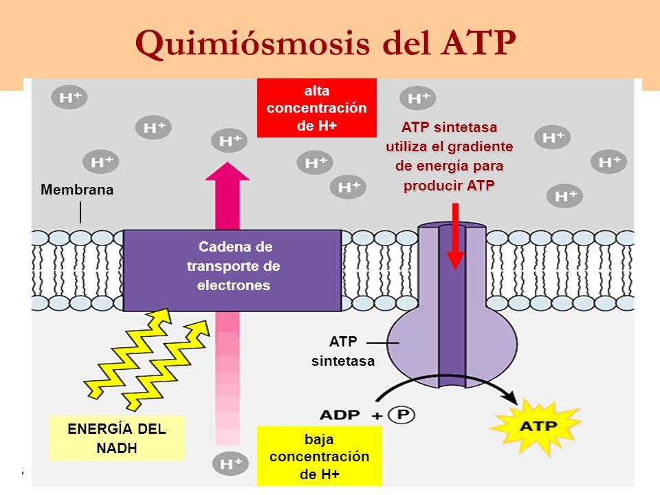 Quimiósmosis del ATP alta concentración de H+