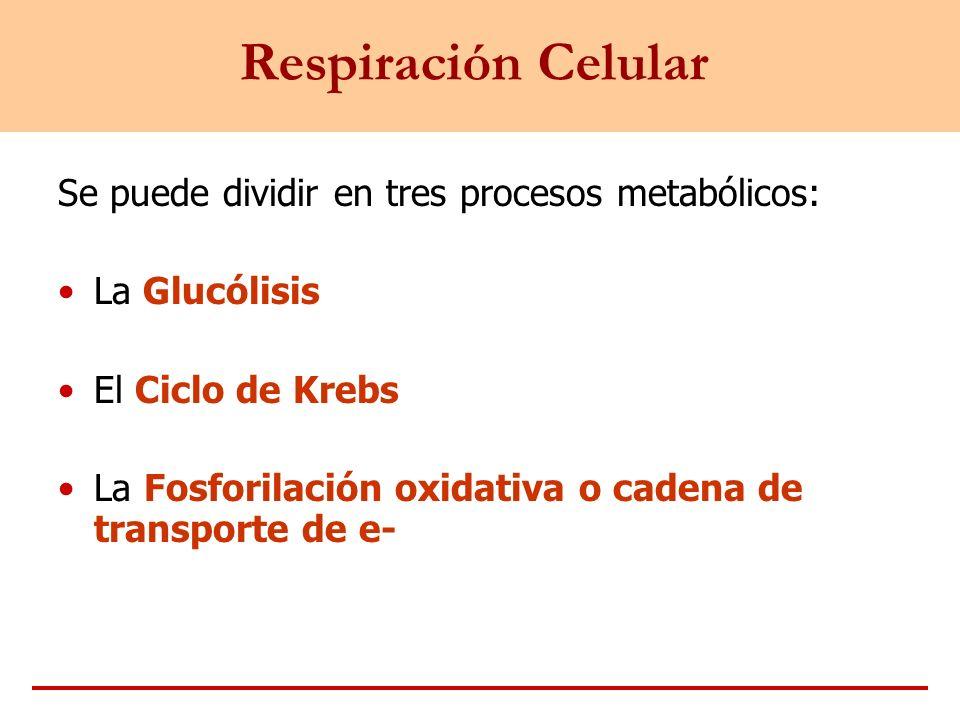 Respiración Celular Se puede dividir en tres procesos metabólicos: