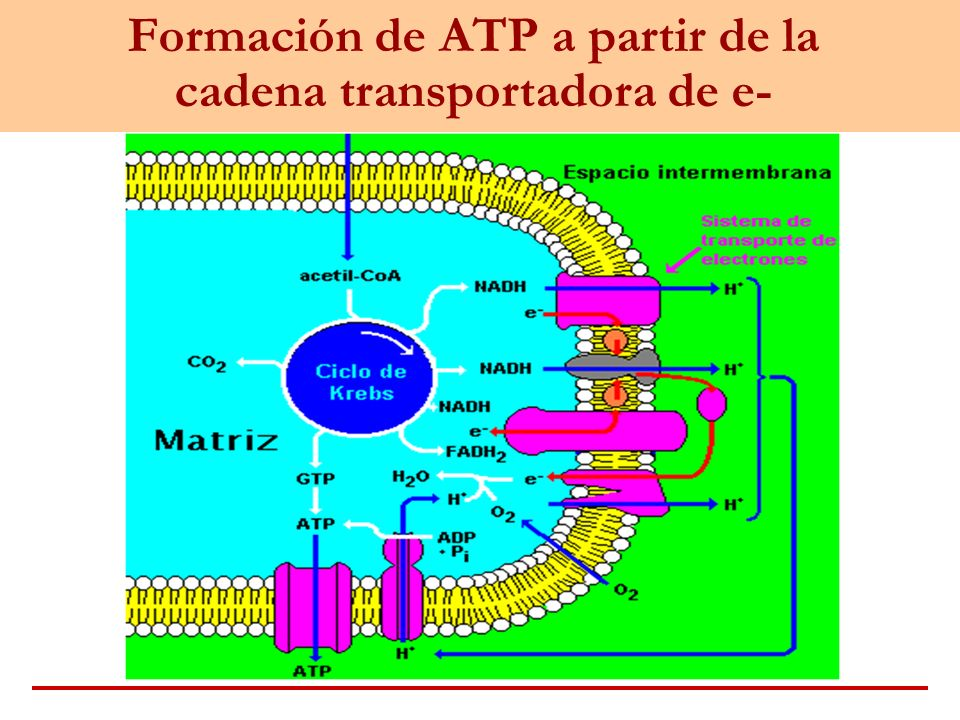 Formación de ATP a partir de la cadena transportadora de e-